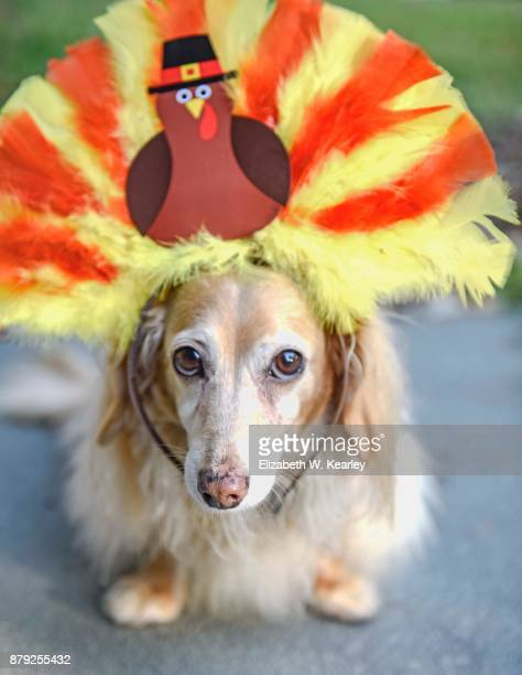 turkey dog - thanksgiving dog stock pictures, royalty-free photos & images