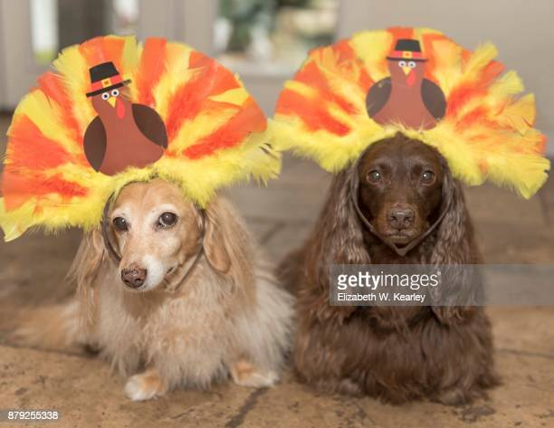 turkey dogs - thanksgiving dog stock photos and pictures