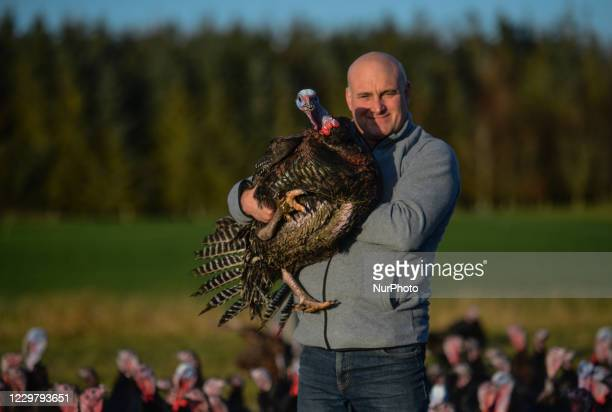 Turkey farmer David McEvoy lifts one of his bronze turkeys that was hatched in June and raised free range for Christmas are seen ready for market on...