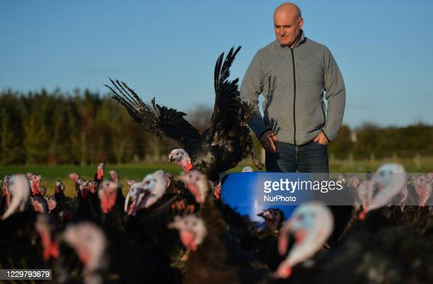 Turkey farmer David McEvoy looks at one of his bronze turkeys that was hatched in June and raised free range for Christmas and now are ready for...