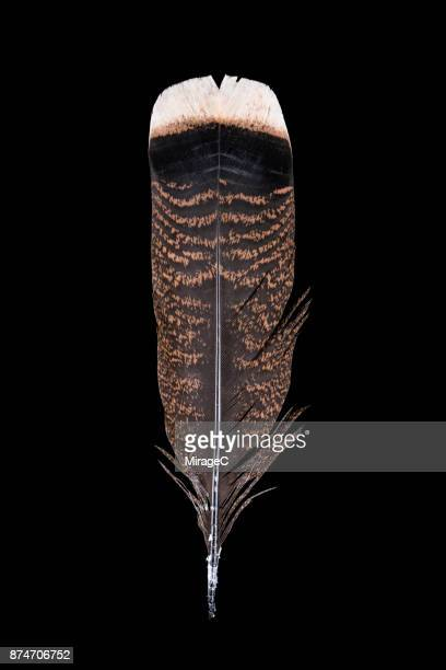 turkey feather on black background - turkey feathers stock photos and pictures