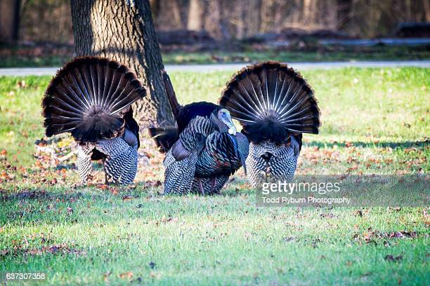 turkey gaggle - wild turkey stock photos and pictures