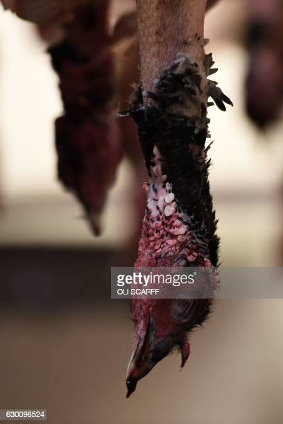 A turkey hangs as bronze and white turkeys are dressed and packaged for sale on poultry farmers Tim Lynne Lindley's 'Hostingley Farm Free Range' near...