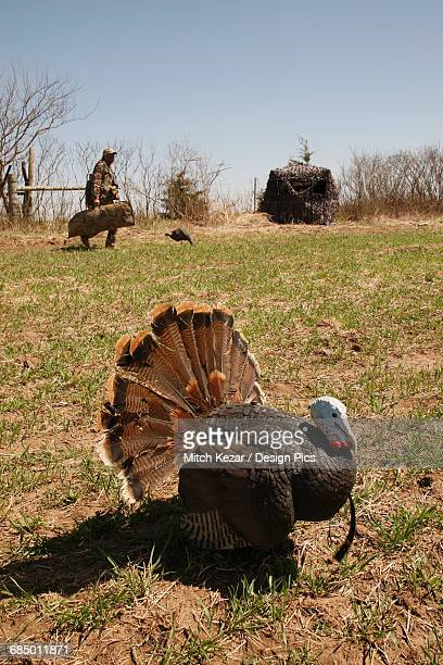 turkey in foreground and turkey hunters in background - turkey hunting stock photos and pictures