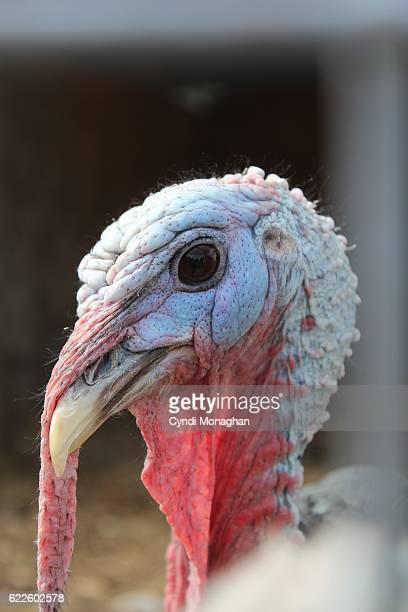 turkey - ugly turkey stock photos and pictures