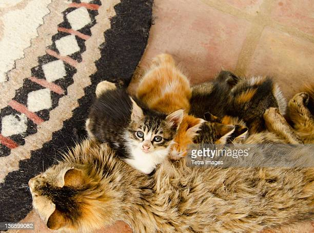 turkey, sirince, cat feeding young - aegean turkey stock pictures, royalty-free photos & images