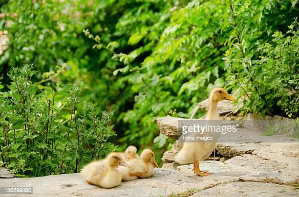 Turkey, Sirince, Family of ducks