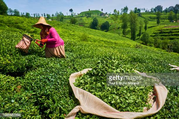 turkey,  tea plantation in the hills near trabzon in anatolia - trabzon stock pictures, royalty-free photos & images