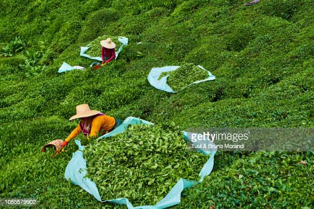turkey,  tea plantation in the hills near trabzon in anatolia - trabzon stock photos and pictures