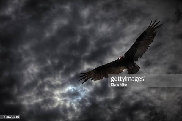 Turkey vulture and dark clouds