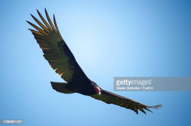 turkey vulture - cathartes aura flying - marek stefunko stock pictures, royalty-free photos & images