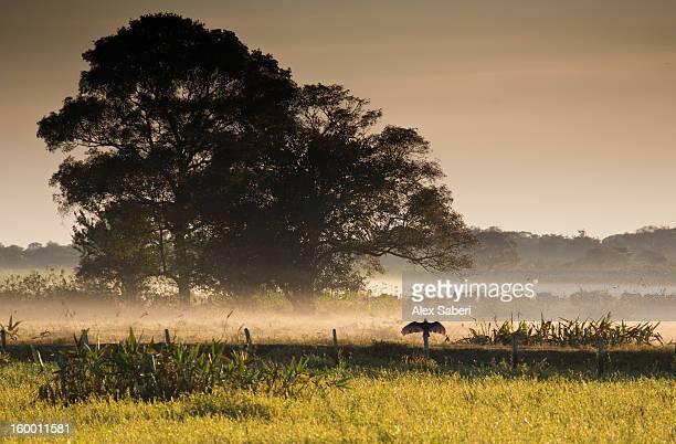 a turkey vulture, cathartes aura, suns itself in the early morning. - alex saberi stockfoto's en -beelden