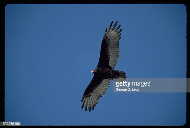 turkey vulture flying - cayucos stock pictures, royalty-free photos & images