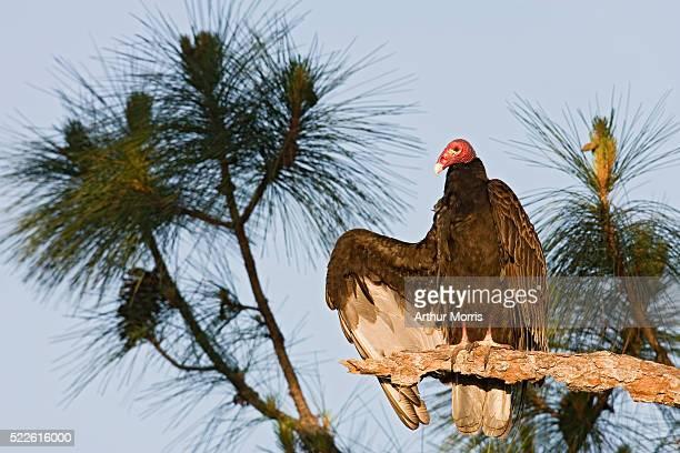 Turkey Vulture in Pine Tree