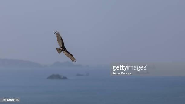 turkey vulture - alma danison - fotografias e filmes do acervo