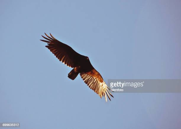 A Turkey Vulture Sauntering on Thermals