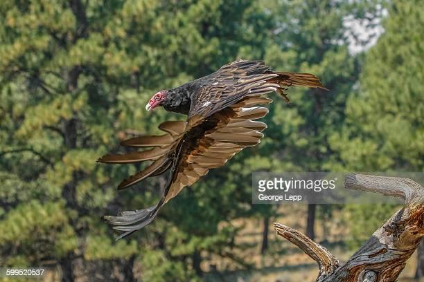 Turkey Vulture taking off