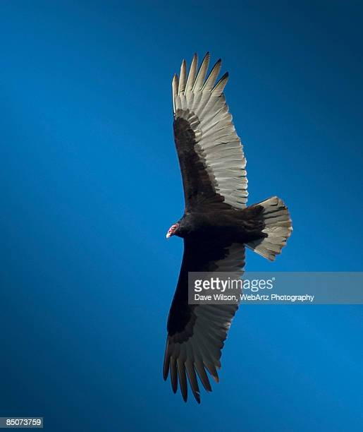 turkey vulture, texas - dave wilson webartz stock pictures, royalty-free photos & images