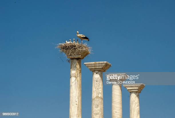 turkey, white stork and its babies in a nest at the top of a pillar of the didyma ancient greek site - wader bird stock photos and pictures