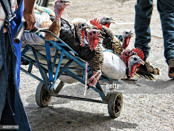 CONTENT] Turkeys and Chickens headed for a certain but unfortunate future being taken from a small market to restaurants for Christmas celebrations