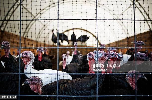 turkeys on a farm - turkey farm prepares for thanksgiving stock pictures, royalty-free photos & images
