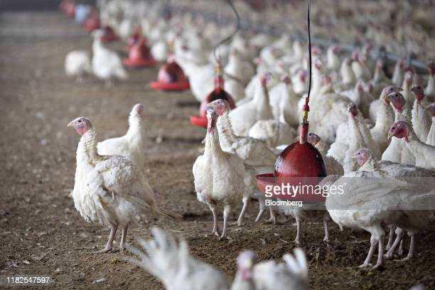 Turkeys stand in a barn at a Farm in Morton Illinois US on Monday Nov 11 2019 In 2019 turkey prices are expected to average 875 cents/lb a 9%...