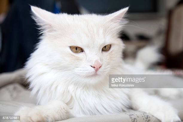 turkish angora - purebred cat stock pictures, royalty-free photos & images