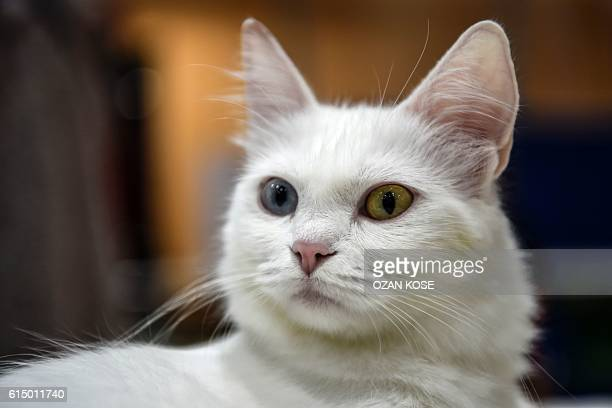 A Turkish Ankara oddeyed cat is pictured during a world cats show contest organized by the World Cat Federation on October 16 2016 in Istanbul / AFP...