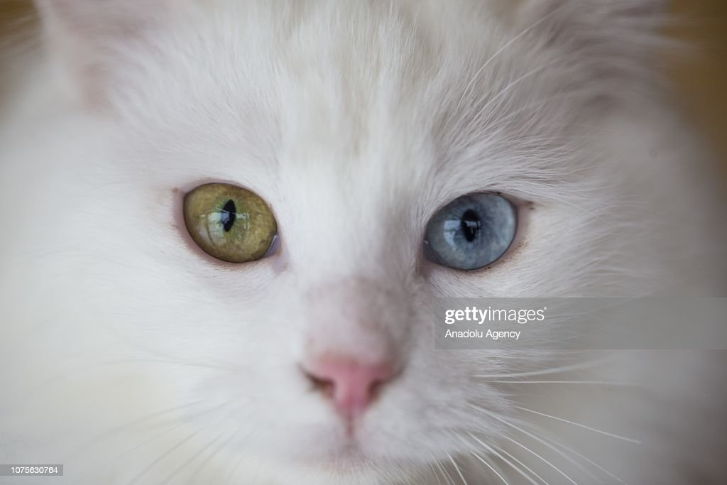 52bf099da2 A Turkish odd-eyed  Angora cat  also known as  Ankara cat  is seen ...