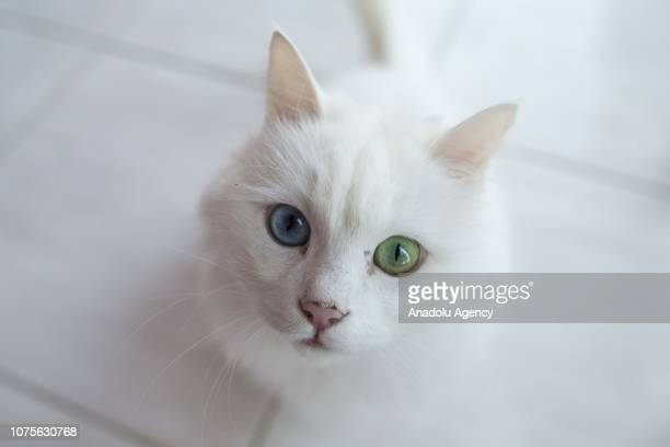 Turkish oddeyed Angora cat also known as 'Ankara cat' is seen at Conservation Center for Turkish Angora cats in Pursaklar district of Turkish capital...