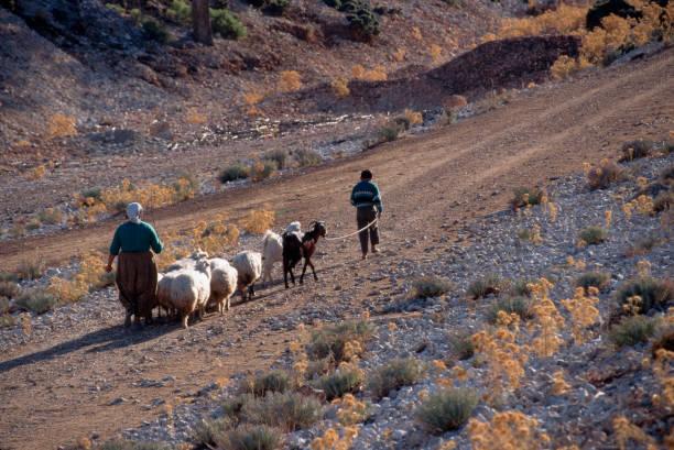 Turkish Shepherd Family With Small Herd