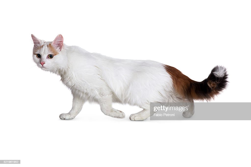 be093f0ad7 turkish van cat   Stock Photo