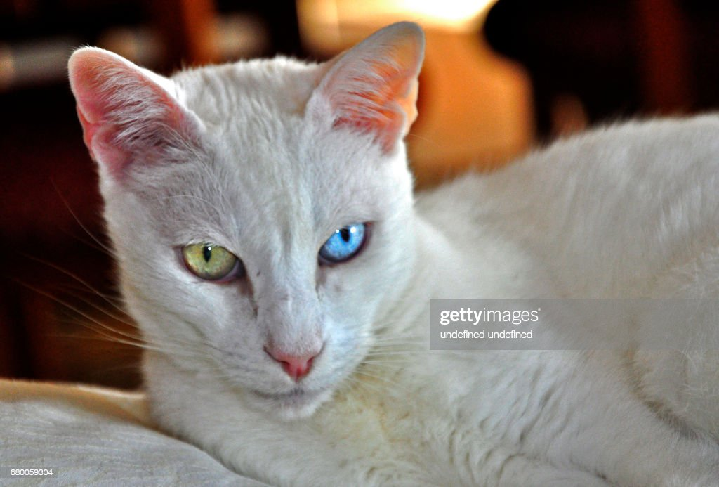 f3d01180ef Turkish Van Cat   Stock Photo