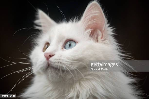 Turkish Van cat sits in an enclosure at the Van Cat Research Center on February 8 2018 in Van Turkey The famous Turkish Van Cat is one of the oldest...