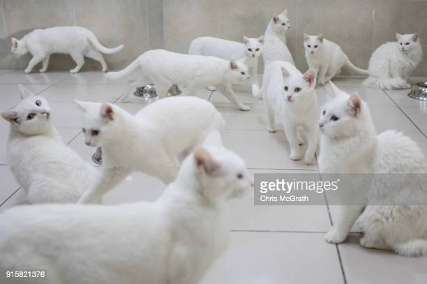 Turkish Van cats eat in their dining room at the Van Cat Research Center on February 8 2018 in Van Turkey The famous Turkish Van Cat is one of the...