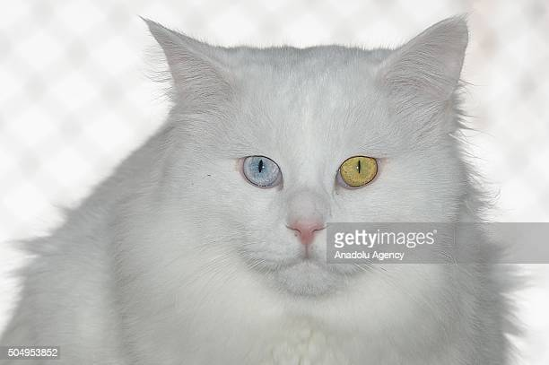 Turkish Van cats found mainly in the Lake Van region of eastern Turkey are seen in the city of Van Turkey on January 14 2016 Since their population...