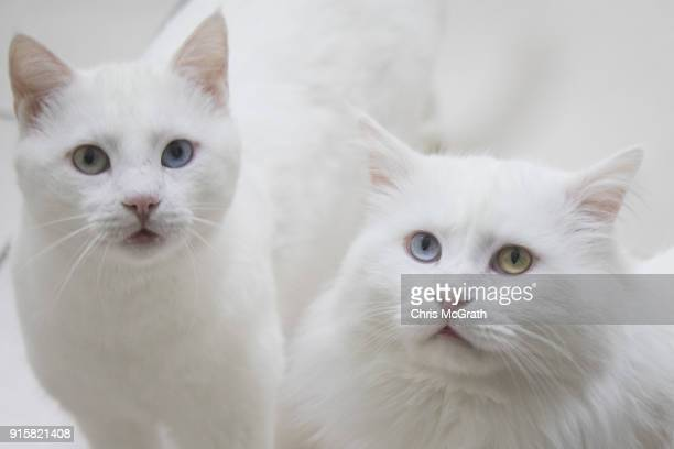 Turkish Van cats sit in an enclosure at the Van Cat Research Center on February 8, 2018 in Van, Turkey. The famous Turkish Van Cat is one of the...