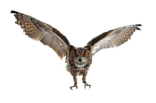 Turkmenian Eagle owl / bubo bubo turcomanus in flight / landing isolated on white background looking at lens 953479410