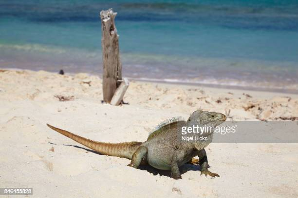 a turks and caicos rock iguana, cyclura carinata, on the island nature reserve of little water cay, turks and caicos. - turks and caicos islands stock pictures, royalty-free photos & images
