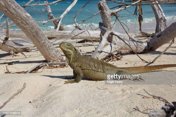 a turks and caicos rock iguana (cyclura carinata), on little water cay, providenciales, turks and caicos, in the caribbean, west indies, central america - iguana foto e immagini stock