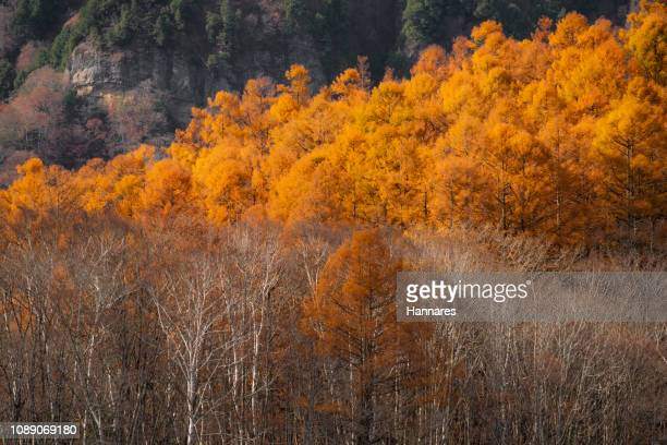 turned color - larch tree stock pictures, royalty-free photos & images
