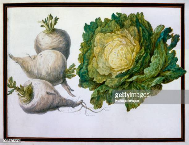 Turnip Cabbage