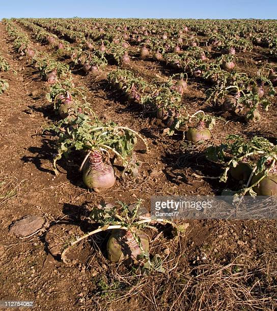 turnip crop in field - rutabaga stock pictures, royalty-free photos & images
