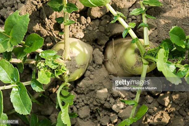 turnips growing in vegetable garden, viewed from above - dikon radish stock photos and pictures