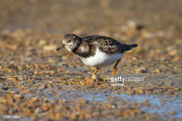 turnstone in norfolk - waders stock pictures, royalty-free photos & images