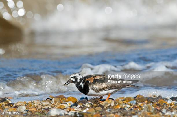 Turnstone Interpres arenaria in breeding plumage with small crab prey on beach Snettisham RSPB Reserve Norfolk