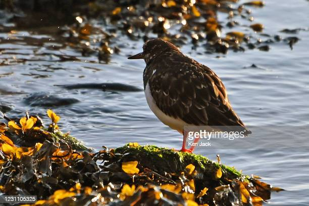 Turnstone stands on a rock on the beach as the tide begins to ebb, on February 11, 2021 in Dalgety Bay, Scotland.