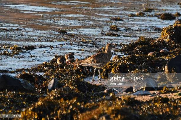 Turnstones are joined by a curlew as they forage among the seaweed at the start of the ebb tide, on February 11, 2021 in Dalgety Bay, Scotland.
