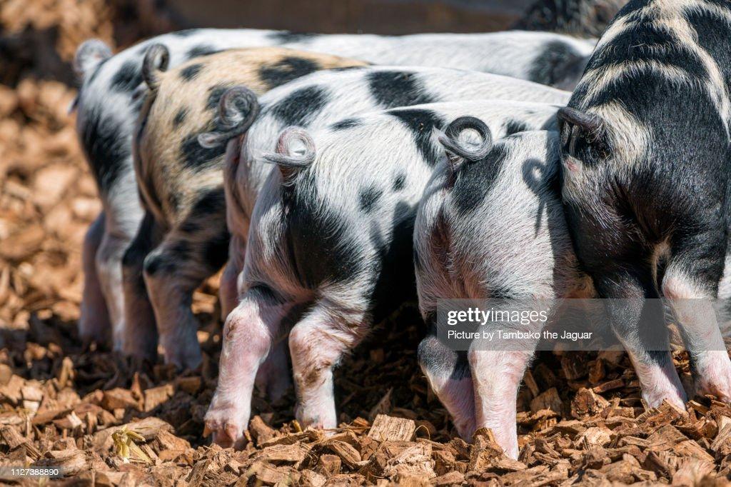 Turopolje piglets from behind : Stock Photo