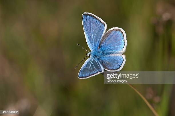 Turquoise blue butterfly, Sweden
